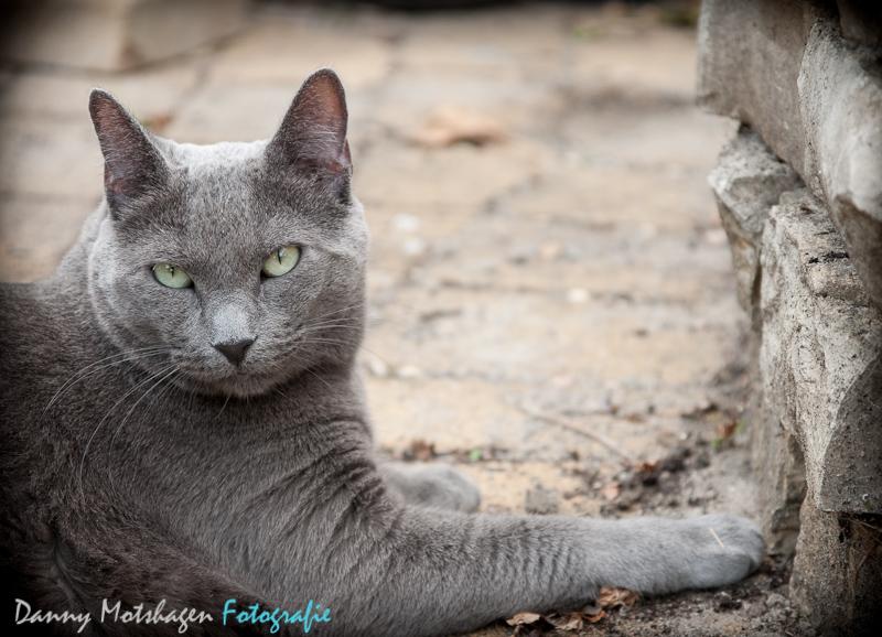 Russische Blauwe kat