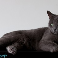 Russian Blue Too